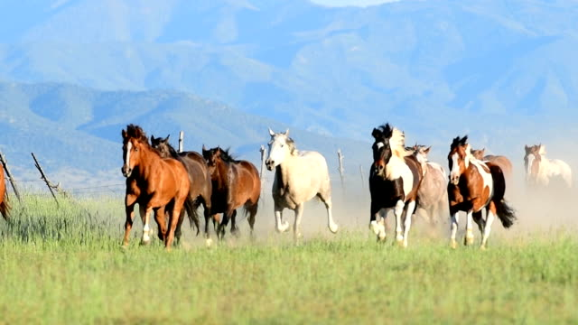 hd video of wild horses run across field in a stampede western usa - stampeding stock videos & royalty-free footage