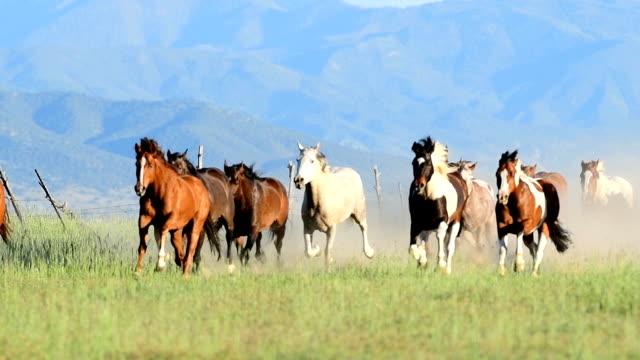stockvideo's en b-roll-footage met hd-video van wilde paarden lopen over een veld in een stampede westelijk usa - op hol slaan