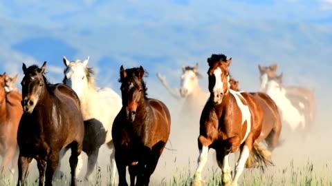 vidéos et rushes de vidéo hd des chevaux sauvages traversent le champ dans un stampede ouest des usa - cheval