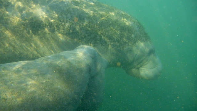 HD Video of Wild Nursing Florida Manatees