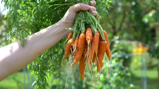 video of woman holding carrots bouquet in 4k - carrot stock videos and b-roll footage