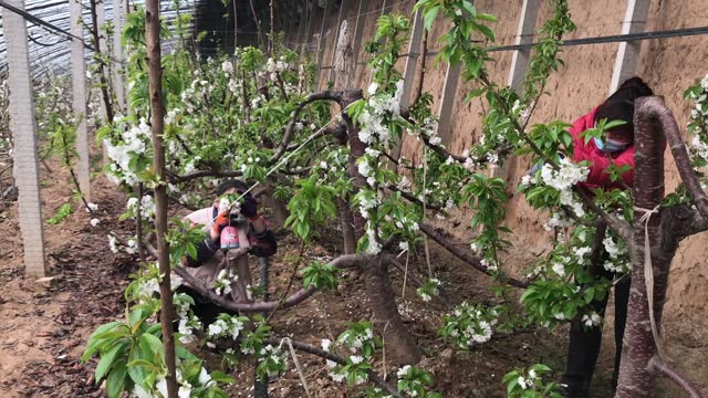 video of worker artificially pollinating cherry trees in yuncheng, north china's shanxi province. the lack of pollinating insects in some areas of... - botany stock videos & royalty-free footage