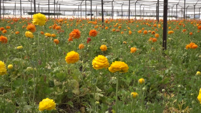 uhd video of yellow ranunculus flower in garden - ranunculus stock videos & royalty-free footage