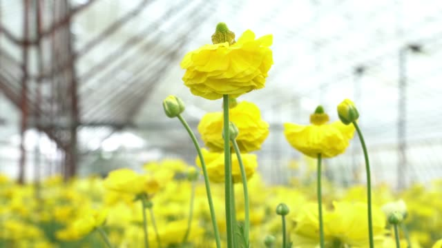uhd video of yellow ranunculus flowers - ranunculus stock videos & royalty-free footage