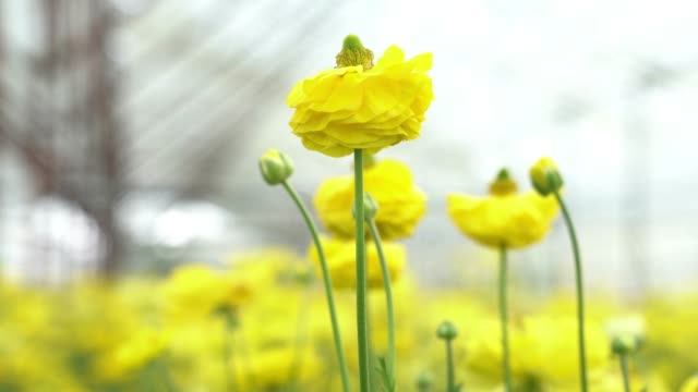 stockvideo's en b-roll-footage met uhd video van gele ranunculus bloemen - ranonkel