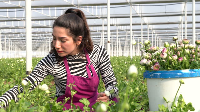 4k video of young woman working in horticulture greenhouse - ranunculus stock videos & royalty-free footage