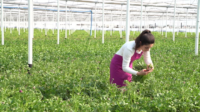 hd video of young woman working in horticulture greenhouse - ranunculus stock videos & royalty-free footage