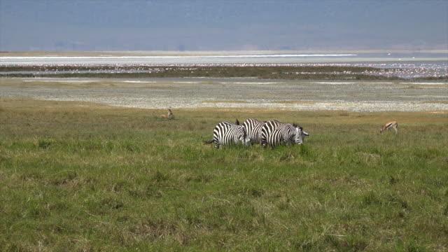 vídeos y material grabado en eventos de stock de video of zebras near the ngorongo crater, tanzania. - caldera cráter