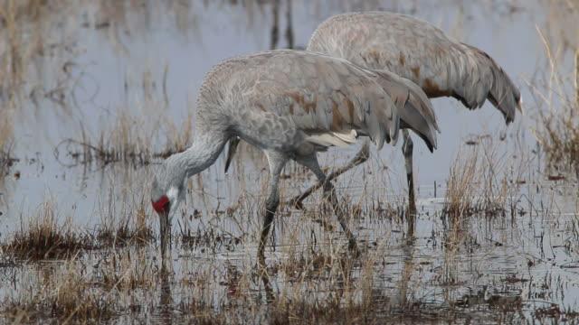 hd video pair of sandhill cranes in colorado wetlands - sandhill crane stock videos & royalty-free footage