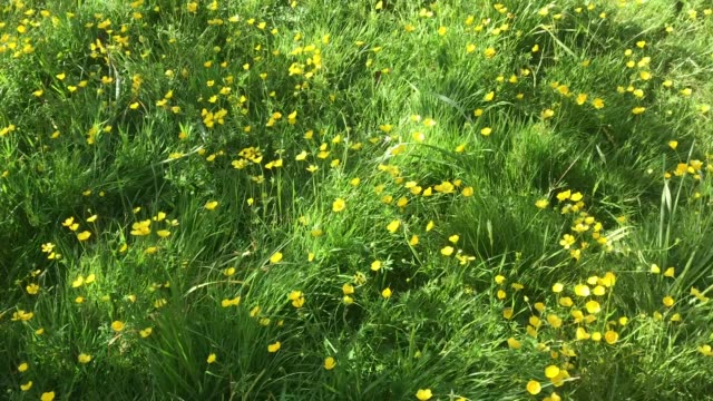 video panning left to right of springtime meadow full of buttercups - grass family stock videos & royalty-free footage