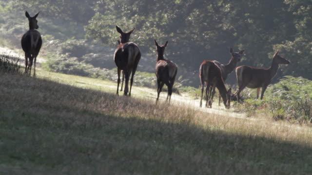 HD video red deer hinds Cervus elaphus in September