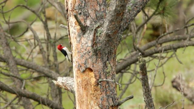 HD video red-headed woodpecker nest South Dakota