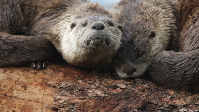 hd video river otter pair on log yellowstone wyoming - otter stock videos and b-roll footage