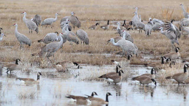 hd video sandhill cranes and geese in colorado wetlands - sandhill crane stock videos & royalty-free footage