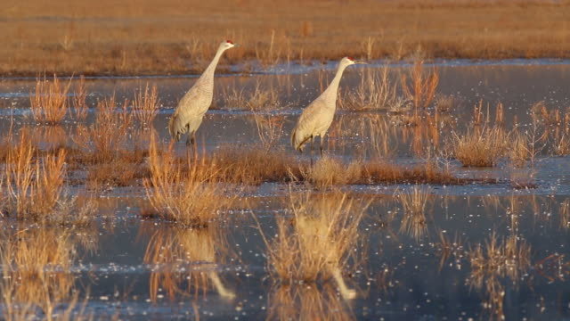 hd video sandhill cranes take off during colorado sunrise - sandhill crane stock videos & royalty-free footage