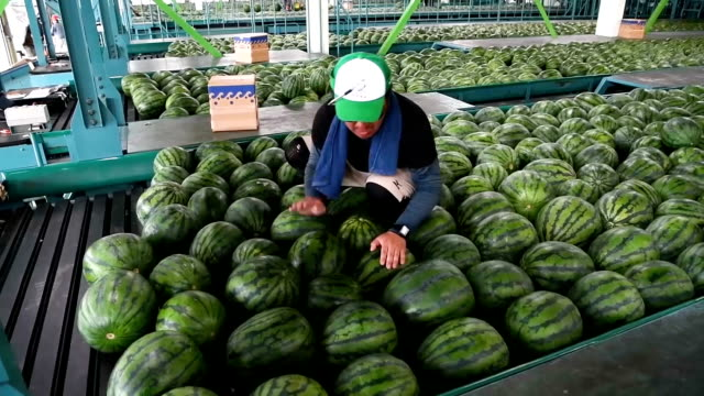 A video shows some of the 25000 or so watermelons checked and readied for shipment at a sorting facility in Hokuei Tottori Prefecture on June 5...
