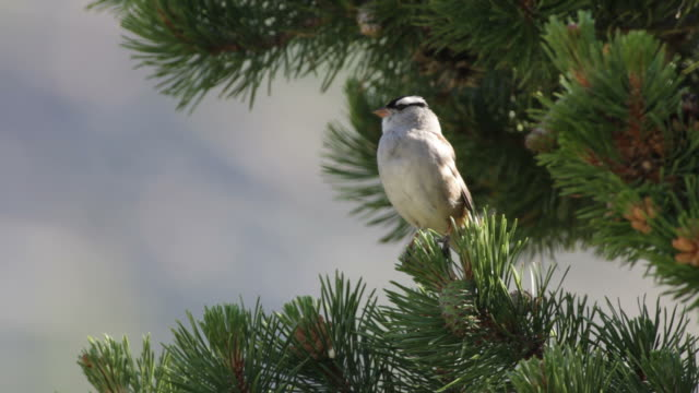 hd video singing white-crowned sparrow in rocky mountain np - songbird stock videos & royalty-free footage