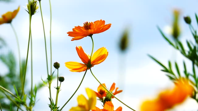 video slow motion of cosmos flower field. - yellow stock videos & royalty-free footage