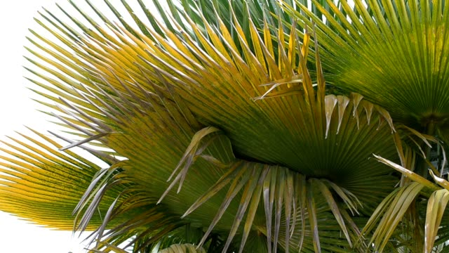 video stock of green palm leaves and golden yellow natural beauty - palm leaf stock videos & royalty-free footage