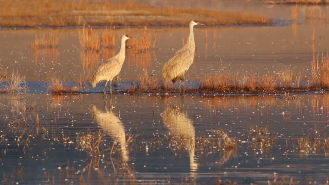 hd video sunrise on sandhill cranes reflection colorado - sandhill crane stock videos & royalty-free footage
