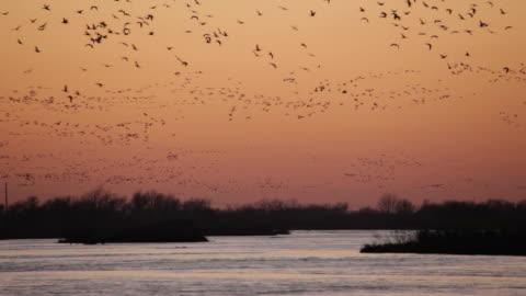 vídeos y material grabado en eventos de stock de vídeo hd y la puesta de sol sobre el río platte sandhill cranes nebraska - grupo grande de animales