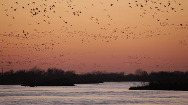 hd video sunset over platte river sandhill cranes nebraska - large group of animals stock videos & royalty-free footage