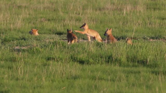 hd video swift fox pups play pawnee national grasslands colorado - fox stock videos and b-roll footage