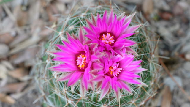 hd video time lapse of blooming barrel cactus colorado - barrel cactus stock videos and b-roll footage