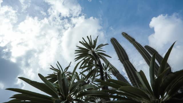4K Video time-lapse van Cactus Boom silhouet tegen blauwe hemel
