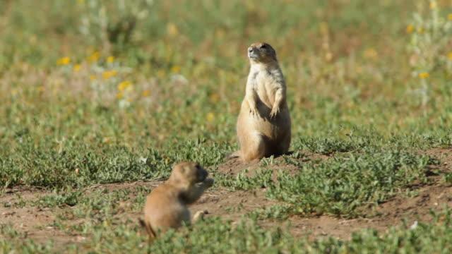 video HD trio di Colorado Cane della prateria dalla coda nera