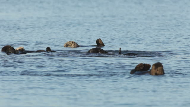 HD Video Wild endangered sea otter pod Monterey Bay California