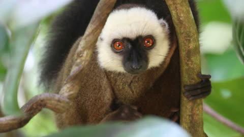 hd video wild endemic white-fronted brown lemur nosy mangabe madagascar - animals in the wild bildbanksvideor och videomaterial från bakom kulisserna