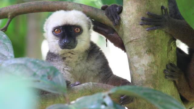 hd ビデオワイルド固有種ホワイトの扉のブラウンのキツネザル mangabe マダガスカル詮索好き - キツネザル点の映像素材/bロール