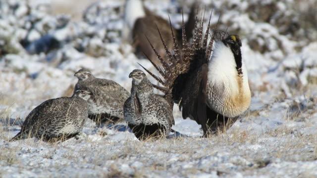 hd video wild greater sage grouse display on colorado lek - lek stock videos & royalty-free footage