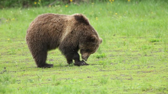 hd video wild grizzly bear eating in national forest wyoming - grand teton national park stock videos & royalty-free footage