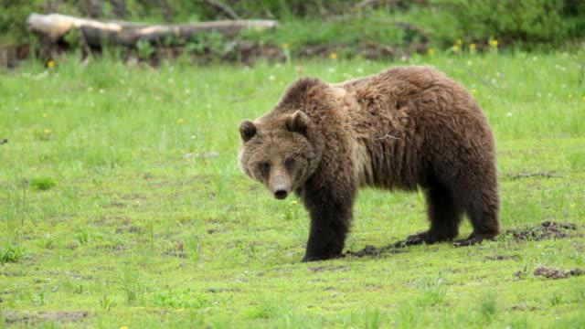 HD-Video-wilde Grizzlybären Essen im National Forest, den Wyoming