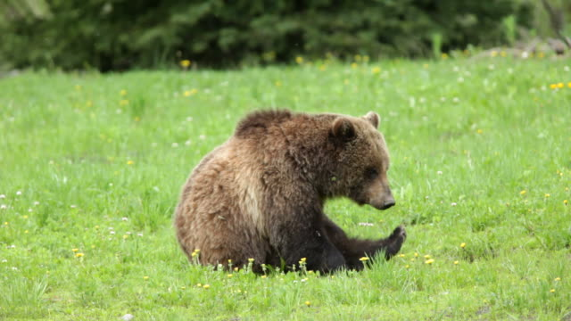 hd video wild grizzly bear scratching national forest wyoming - bear stock videos and b-roll footage