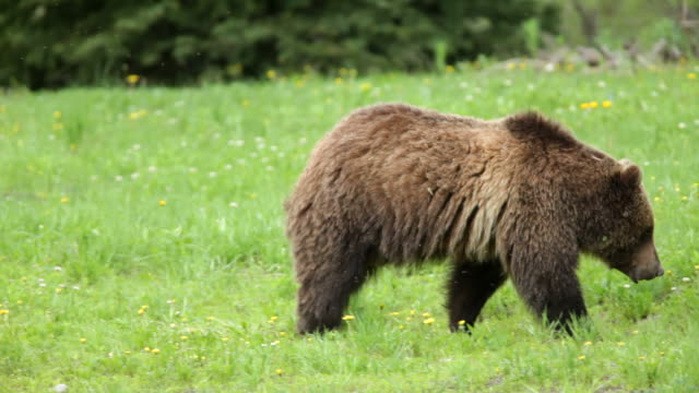 HD video wild grizzly bear walking in Teton Forest Wyoming