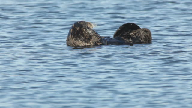 hd video wild grooming sea otter in monterey bay california - otter stock videos and b-roll footage