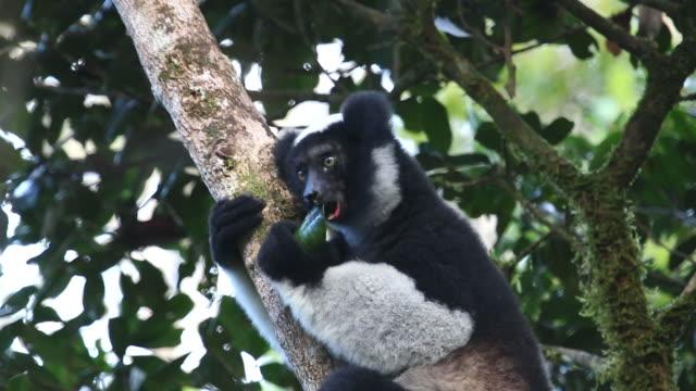 hd ビデオワイルドマダガスカルインドリのお食事が perinet andasibe 国立公園 - インドリ点の映像素材/bロール
