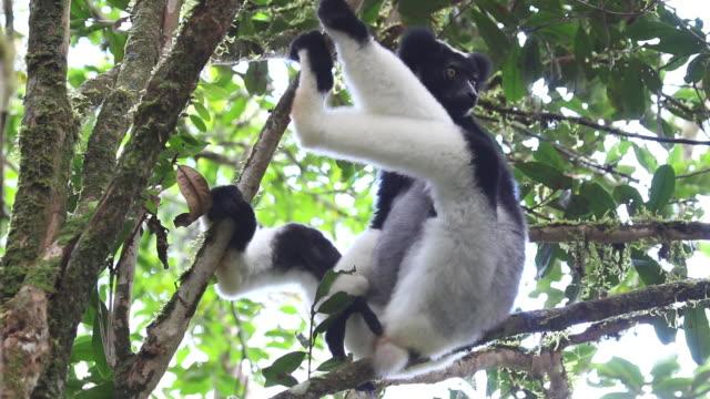 hd ビデオワイルドマダガスカルインドリ perinet andasibe 国立公園の熱帯雨林 - インドリ点の映像素材/bロール