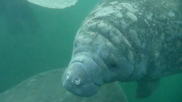 HD video wild manatees underwater Crystal River Florida
