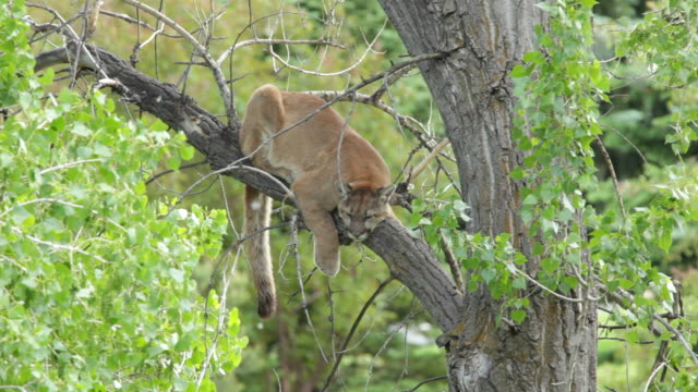 hd video wild mountain lion in cottonwood morrison colorado - cottonwood tree stock videos and b-roll footage