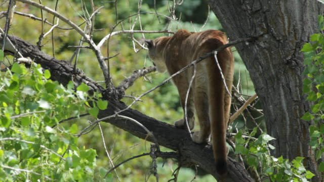 hd video wild mountain lion morrison colorado - cottonwood tree stock videos and b-roll footage