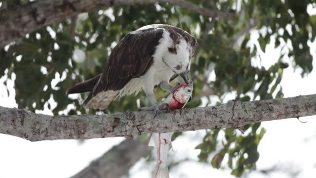 の hd ビデオワイルドオスプリー食べる魚エバーグレイズ国立公園 - ミサゴ点の映像素材/bロール