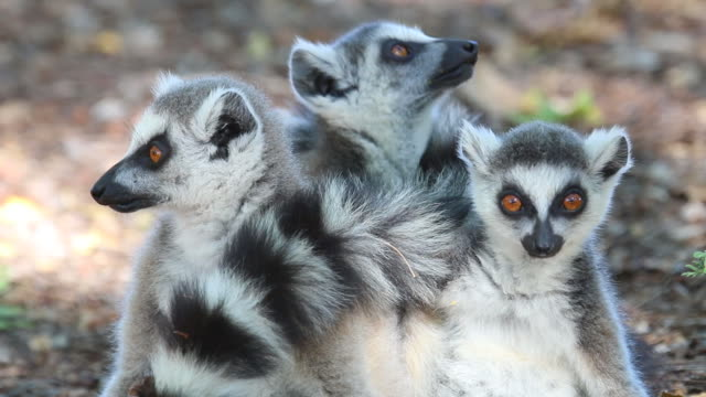 の hd ビデオワイルドリングテール lemurs マダガスカルでベレンティ保護区 - マダガスカル点の映像素材/bロール