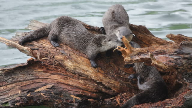 HD Video Wild river otters climb log Yellowstone NP Wyoming