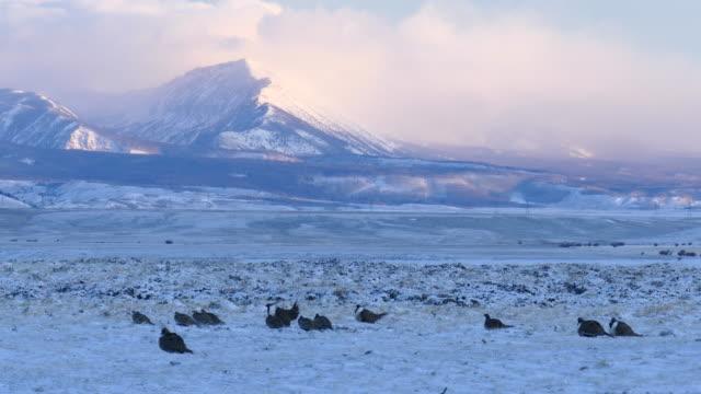 hd video wild sage grouse display snowy colorado mountain lek - lek stock videos & royalty-free footage