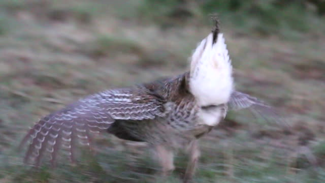 hd video wild sharp-tailed grouse dances in northern colorado - djur som parar sig bildbanksvideor och videomaterial från bakom kulisserna