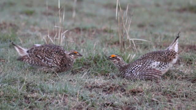 hd video wild sharp-tailed grouse face off in northern colorado - lek stock videos & royalty-free footage